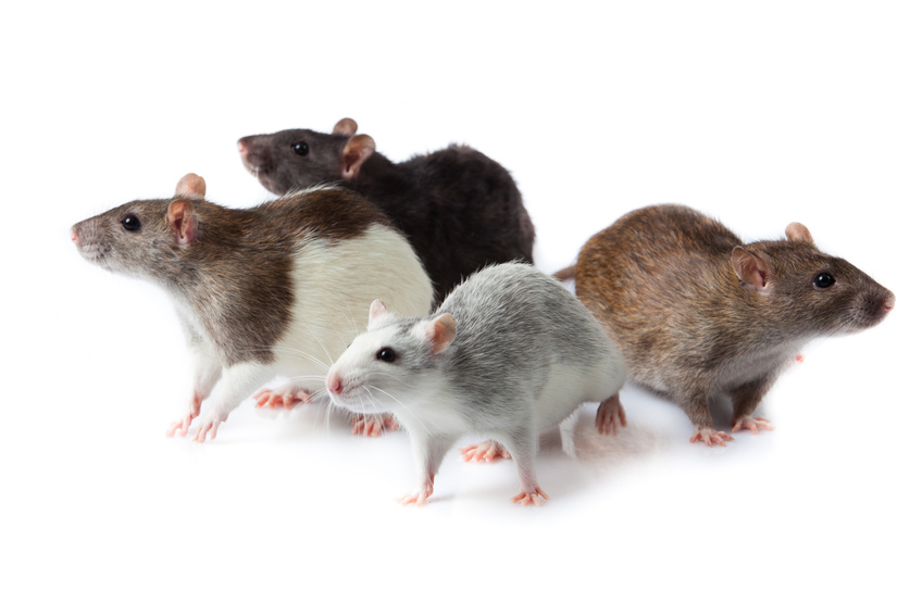 Plagas de ratones unos vecinos inc modos for Ahuyentar ratas jardin